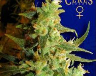 Ceres Seeds - Skunk Haze cannabis seed