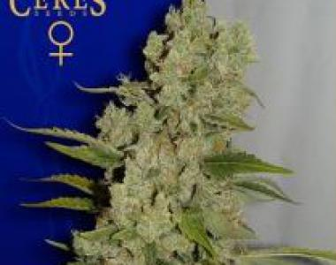 Ceres Seeds - White Widow cannabis seed