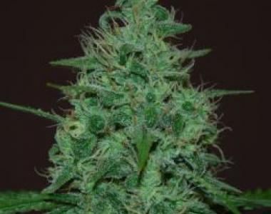 Cream of the Crop - Cropical Fruit Auto cannabis seed