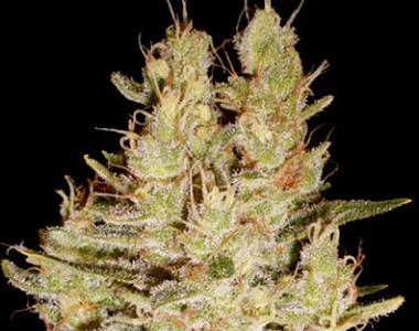 Cream of the Crop - Pretty Lights cannabis seed