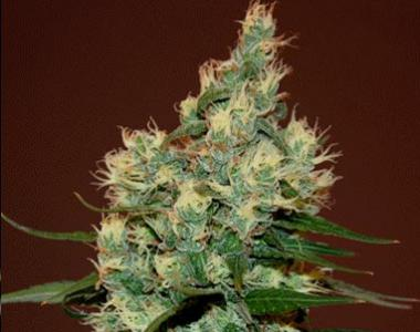 Cream of the Crop - Sour Turbo Diesel cannabis seed