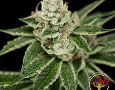 Crockett Family Farms - Crocketts Dawg cannabis seed