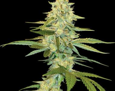 DNA Genetics - Cannalope Kush cannabis seed