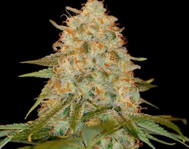 DNA Genetics - LA Chocolat cannabis seed