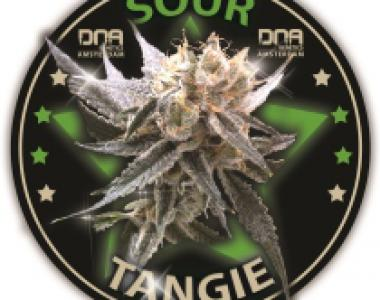 DNA Genetics - Sour Tangie cannabis seed