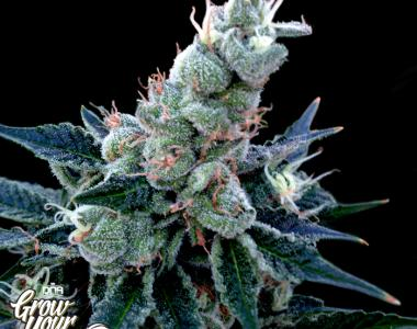 DNA Genetics - GYO Collection - Double Alien 18 cannabis seed