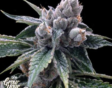 DNA Genetics - GYO Collection - White Walker Kush cannabis seed