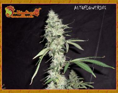 Dr Krippling - Sonic Bloom cannabis seed
