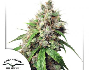 Dutch Passion - Euforia Auto cannabis seed
