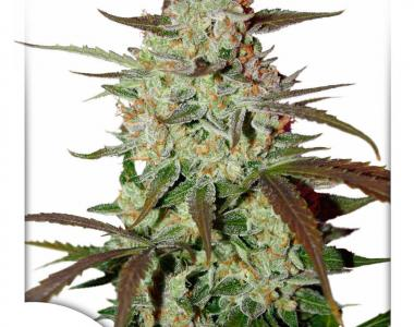 Dutch Passion - Blue Auto Mazar cannabis seed