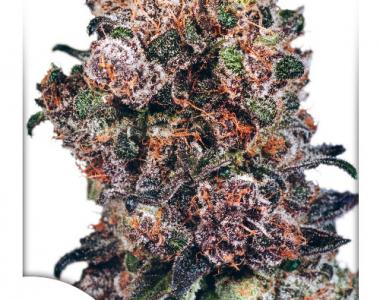 Dutch Passion - Blueberry cannabis seed