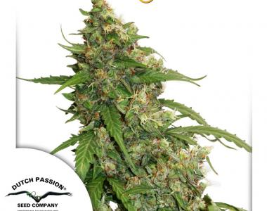 Dutch Passion - Compassion Lime CBD Auto cannabis seed