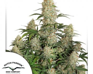 Dutch Passion - Critical Orange Punch Auto cannabis seed