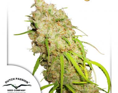 Dutch Passion - Desfran cannabis seed