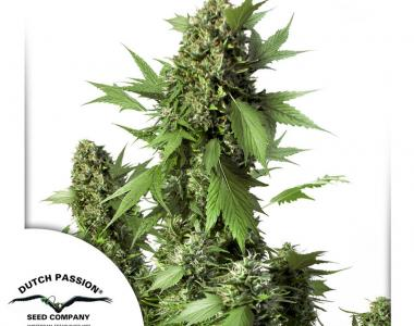 Dutch Passion - Duck Auto cannabis seed