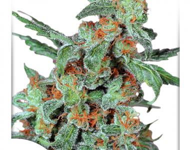 Dutch Passion - Orange Bud cannabis seed