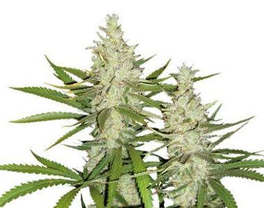Dutch Passion - Outlaw cannabis seed