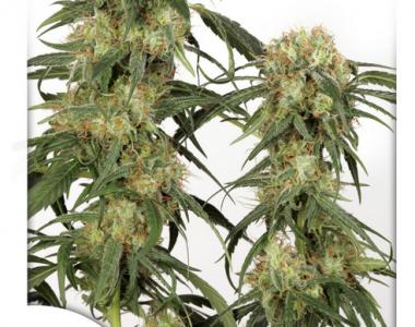 Dutch Passion - Pamir Gold cannabis seed