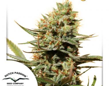 Dutch Passion - The Edge cannabis seed