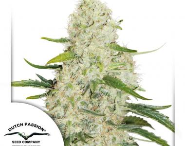 Dutch Passion - Think Big Auto cannabis seed