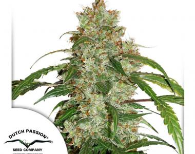 Dutch Passion - White Widow CBD Auto cannabis seed
