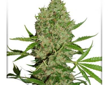 Dutch Passion - White Widow X The Ultimate cannabis seed