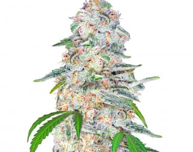 Fast Buds - Blue Dream´matic cannabis seed