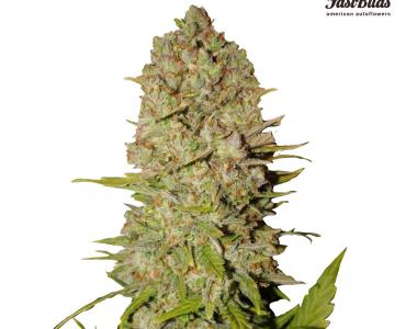 Fast Buds - Pineapple Express Auto cannabis seed
