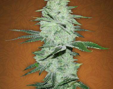 Fast Buds - Six Shooter cannabis seed