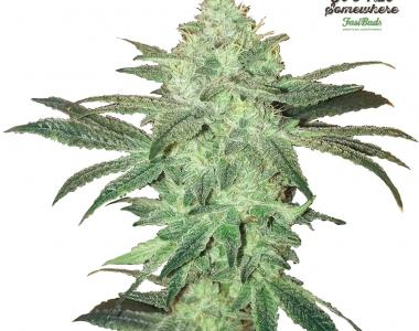 Fast Buds - Stardawg cannabis seed