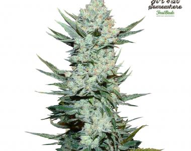 Fast Buds - Tangie\'matic cannabis seed