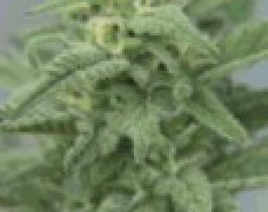 Female Seeds - Maroc cannabis seed