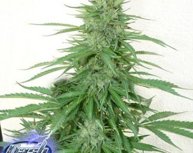 Flash Auto Seeds - Chaze cannabis seed