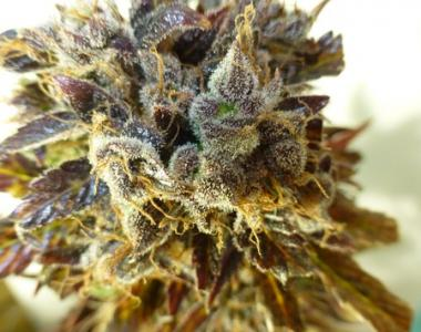 Flash Auto Seeds - Purple Mazar cannabis seed