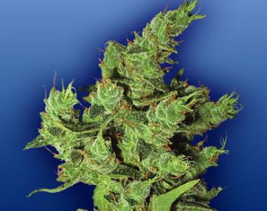 Flying Dutchmen Seeds - Amsterdam Mist cannabis seed