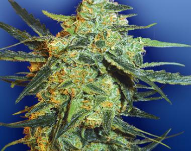 Flying Dutchmen Seeds - Blueberry Skunk cannabis seed