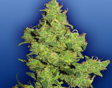 Flying Dutchmen Seeds - Flying Dragon cannabis seed