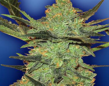 Flying Dutchmen Seeds - G Force cannabis seed
