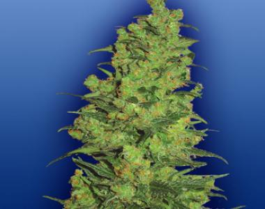 Flying Dutchmen Seeds - Temple Haze cannabis seed