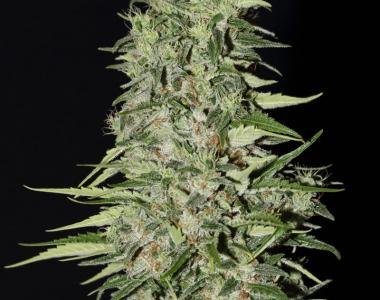 Green House Seeds - Diamond Girl cannabis seed