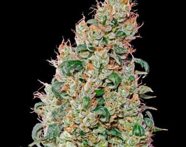 Green House Seeds - Green-O-Matic cannabis seed