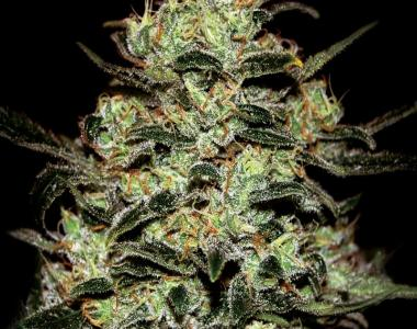 Green House Seeds - Moby Dick cannabis seed