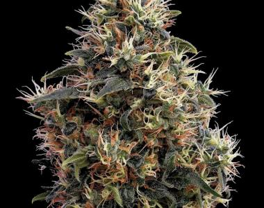 Green House Seeds - Sweet Mango cannabis seed