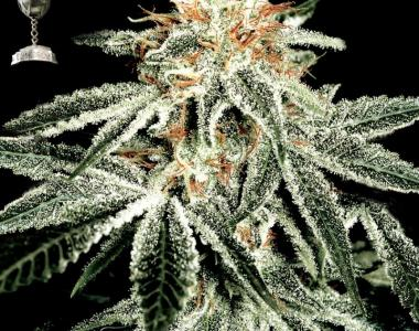 Green House Seeds - White Widow cannabis seed