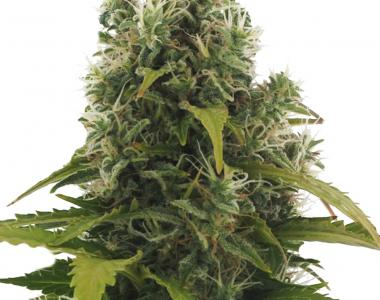 Heavyweight Seeds - High Density Auto cannabis seed