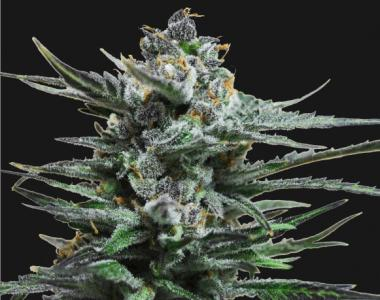 Kalashnikov Seeds - Blue Acid Auto cannabis seed