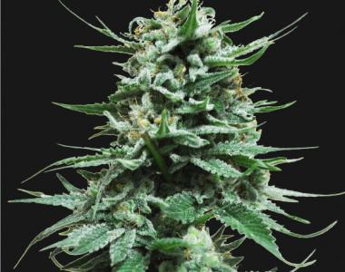 Kalashnikov Seeds - Northern Russian Auto cannabis seed
