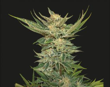 Kalashnikov Seeds - Vodka Lemon cannabis seed