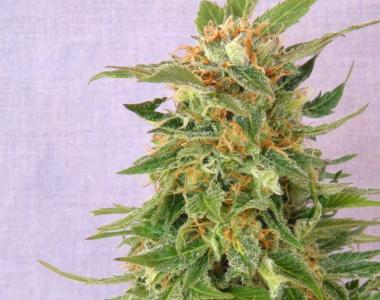 Kannabia Seeds - Ginger Punch Automatic cannabis seed