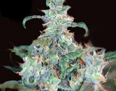 Kera Seeds - Crazy Mouse cannabis seed